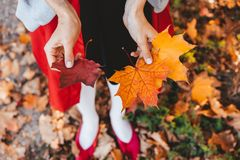 Closeup of girl`s hands holding autumn maple tree leaves. Closeup of girl`s hands holding beautiful bunch of bright autumn maple tree leaves royalty free stock photos