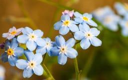 Closeup glömma-mig-nots blomma. Makro av blåttblomman Royaltyfri Bild