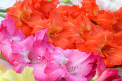 Closeup of gladiolus flower Royalty Free Stock Images