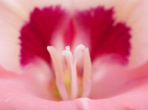 Closeup of Gladiolus flower with stigma Royalty Free Stock Images