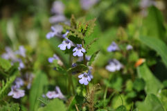 Closeup of Glechoma hederacea Royalty Free Stock Photos