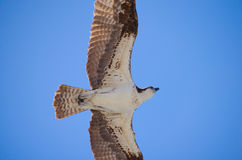 Closeup of a gliding osprey hunting sea hawk Stock Images