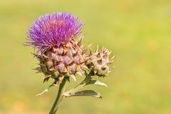 Closeup of globe artichoke flower and bud royalty free stock image