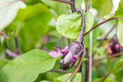 Purple fruit of an eggplant from close. Closeup of a glossy ripening purple eggplant fruit growing on a plant in the glasshouse of a specialized Dutch eggplant Stock Images