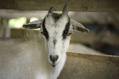 Closeup of goat  Stock Photography