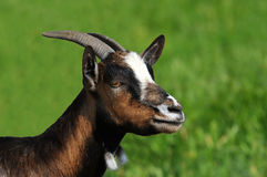 Closeup of Goat Royalty Free Stock Images