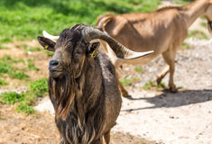 Closeup of goat Stock Photo