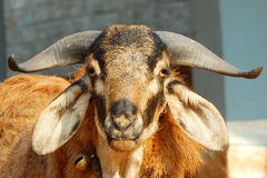 Closeup of Goat head. With curved beautiful horns Stock Image
