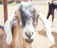 Closeup of  goat or kid Stock Images