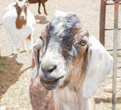 Closeup of  goat or kid Royalty Free Stock Photography