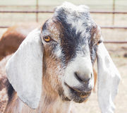 Closeup of  goat or kid Royalty Free Stock Photos