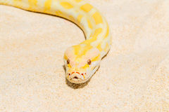 Closeup Gold Python on the sandy tropical beach ,Reticulated pyt Stock Image