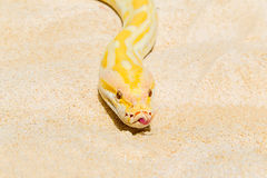 Closeup Gold Python on the sandy tropical beach ,Reticulated pyt Royalty Free Stock Photo
