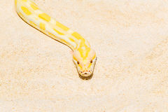 Closeup Gold Python on the sandy tropical beach ,Reticulated pyt Royalty Free Stock Image
