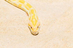 Closeup Gold Python on the sandy tropical beach ,Reticulated pyt Royalty Free Stock Photography