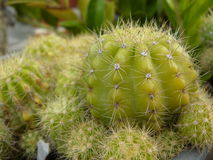 Closeup of The Golden ball cactus. Closeup of The Golden ball cactus or Echinopsis cactus plants. Macro photograp of green cactus in a flower pot stock photos