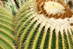 Closeup of a Golden Barrel Cactus. A macro closeup image of several Golden Barrel Cactus known as a Echinocactus grusonii Hildm in latin with large spines royalty free stock image