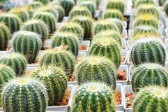 Closeup of Golden Barrel Cactus Stock Photos