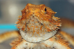 Closeup of a Golden Bearded Dragon Royalty Free Stock Photos