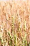 Closeup golden grain ready for harvest in field Royalty Free Stock Photography