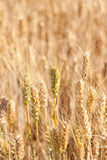 Closeup golden grain ready for harvest in field Stock Photography