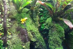 Closeup of a golden poison frog on a leaf in jungle. Rainforest animal stock photo