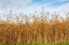 Closeup of golden reed in autumn Royalty Free Stock Images