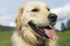 Closeup Of Golden Retriever Panting Stock Image
