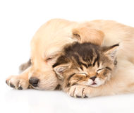 Closeup golden retriever puppy dog sleep with british kitten. isolated Stock Photos