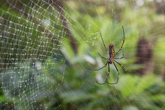 Closeup of a Golden silk orb-weaver spider. Close-up of a Golden silk orb-weaver spider (also known as giant wood spiders or banana spiders) (Nephila) on a wet stock images