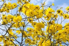 Closeup golden trumpet tree flowers Royalty Free Stock Photos