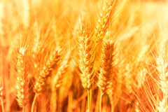 Closeup of golden wheat Royalty Free Stock Photo