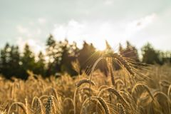 Closeup of golden wheat ear standing out of ripening wheat field. Backlit by the warm glow of summer sun royalty free stock photo