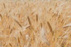 Closeup of golden wheat Stock Images