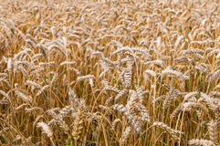 Closeup of golden wheat ripe for harvesting Stock Image