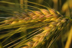 Closeup of golden wheat Stock Photos