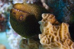 Closeup of goldentail moray Stock Photos