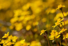 Closeup of goldfields on a yellow background. Goldfield (Lasthenia) flowers against a yellow blurred background Stock Photos