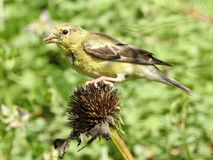 Closeup Goldfinch Female Atop a Coneflower. Macro summer songbird migrating Feeding seeds green background gripping Stock Photography