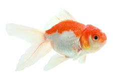 Closeup of a goldfish isolated Stock Photography