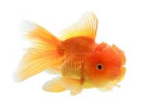Closeup of a goldfish isolated Stock Photos