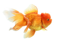 Closeup of a goldfish isolated Royalty Free Stock Image