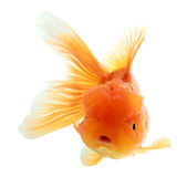 Closeup of a goldfish isolated Royalty Free Stock Images