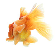 Closeup of a goldfish isolated Stock Image