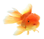 Closeup of a goldfish isolated Stock Images
