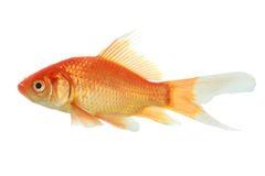 Closeup of a goldfish isolated Royalty Free Stock Photography