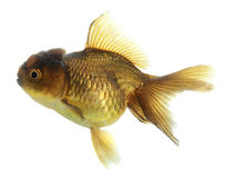 Closeup of a goldfish isolated Stock Photos