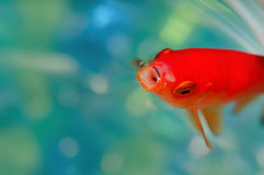 Closeup goldfish macro bright red orange colour mouth open Stock Photo
