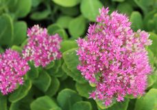 Closeup of Goldflame Japanese Spirea. Stonecrop family stock images