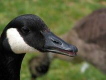 Closeup goose Royalty Free Stock Photos